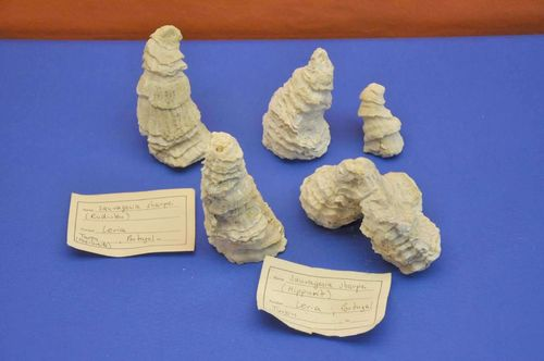 Sauvagesia Sharpei Upper Cretaceous Location: Portugal