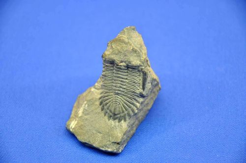 Standing trilobite very fine worked out 3.7cm long